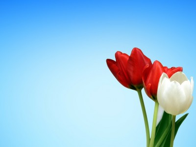 Aesthetics red white tulips spring   ppt backgrounds