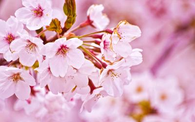 Cherry Blossom ppt backgrounds