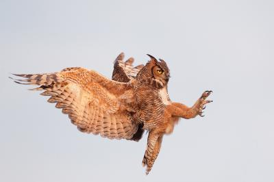 Great Horned Owl in Flight ppt backgrounds